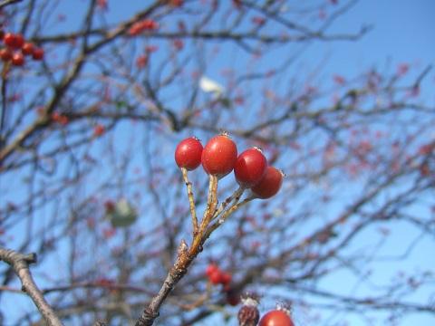 Sorbus aria - alisier blanc Dscf6156