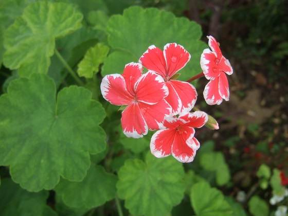 Pelargonium 'Mr Wren' Dscf6160