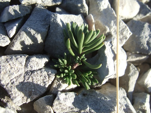 flore des vieux murs, rochers  et rocailles naturelles - Page 9 Dscf6162