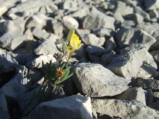 flore des vieux murs, rochers  et rocailles naturelles - Page 9 Dscf6163