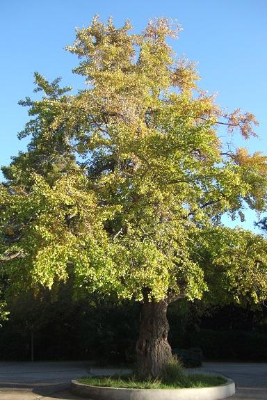 Ginkgo biloba - arbre aux quarante écus - Page 5 Dscf6211