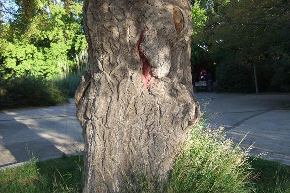 Ginkgo biloba - arbre aux quarante écus - Page 5 Dscf6212