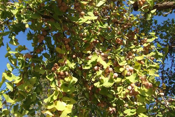 Ginkgo biloba - arbre aux quarante écus - Page 5 Dscf6213