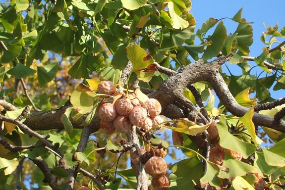Ginkgo biloba - arbre aux quarante écus - Page 5 Dscf6214
