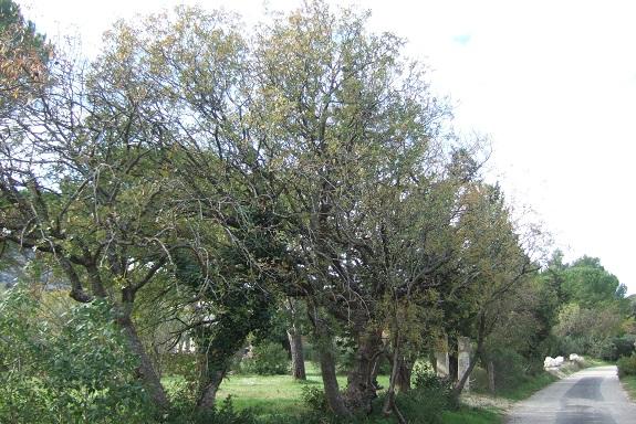 Pistacia terebinthus - pistachier térébinthe - Page 2 Dscf6223