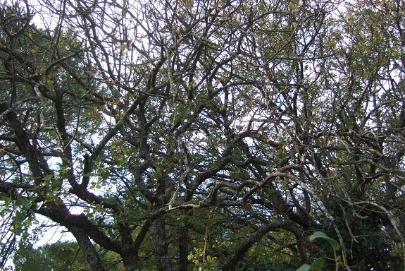 Pistacia terebinthus - pistachier térébinthe - Page 2 Dscf6224
