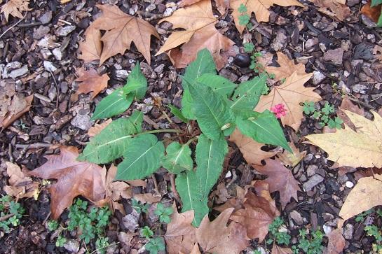 Persicaria amplexicaulis (= Bistorta amplexicaulis) Dscf6232