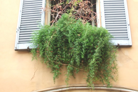 Asparagus densiflorus  Dscf6320