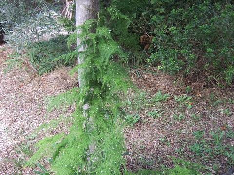 Asparagus setaceus (= Asparagus plumosus) Dscf6330