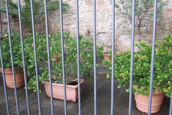 Gardenia rustiques Dscf6419