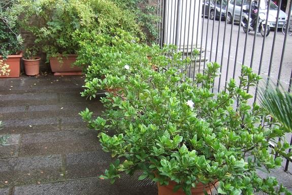 Gardenia rustiques Dscf6420