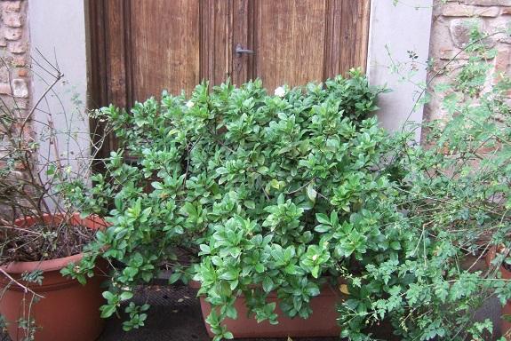 Gardenia rustiques Dscf6421
