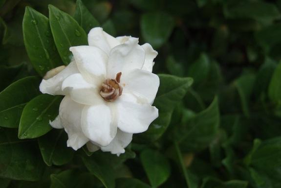 Gardenia rustiques Dscf6422