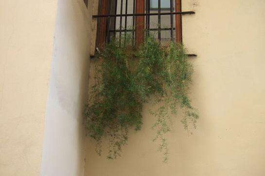 Asparagus densiflorus  Dscf6424