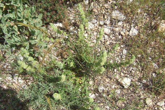 Sideritis provincialis - crapaudine de Provence Dscf6510