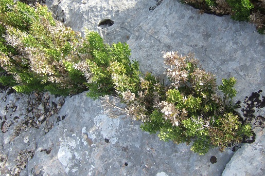 Ruscus aculeatus - fragon petit houx Dscf6517