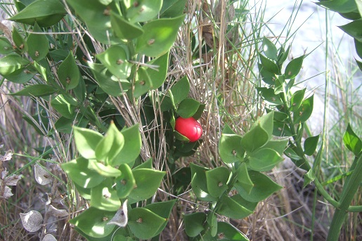 Ruscus aculeatus - fragon petit houx Dscf6518