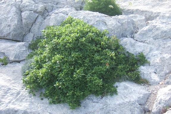 Acer monspessulanum - érable de Montpellier - Page 3 Dscf6521