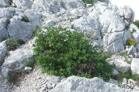 Acer monspessulanum - érable de Montpellier - Page 3 Dscf6522