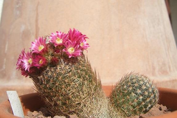 Mammillaria matudae Dscf6525