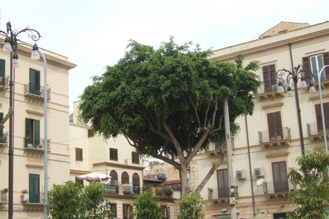 Ficus benjamina Dscf6531