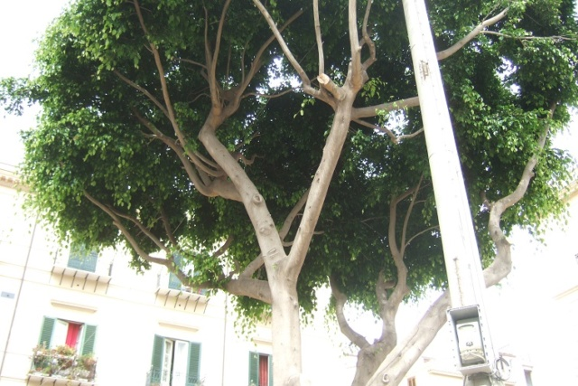 Ficus benjamina Dscf6532