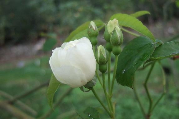 rosier 'Purezza' = Rosa banksiae 'Purezza' - Page 2 Dscf6549