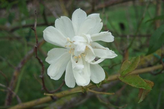 rosier 'Purezza' = Rosa banksiae 'Purezza' - Page 2 Dscf6550