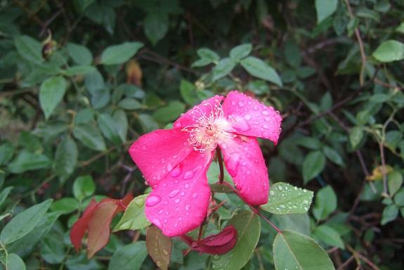 Rosa chinensis 'Sanguinea' Dscf6554