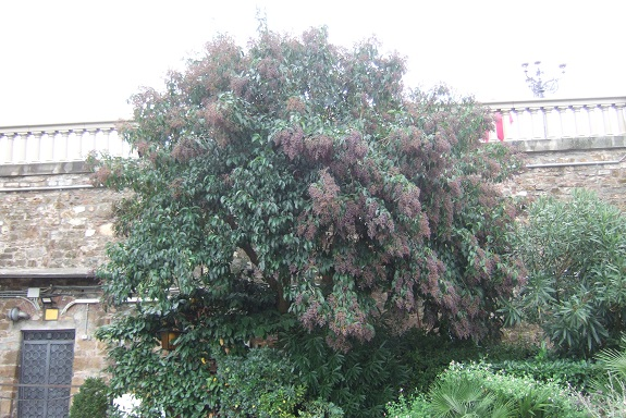 Ligustrum lucidum - troène luisant Dscf6555
