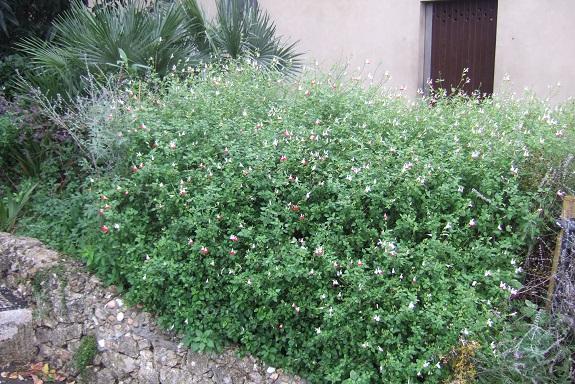 Salvia microphylla 'Hot Lips' Dscf6565