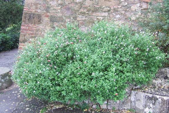 Salvia microphylla 'Hot Lips' Dscf6566