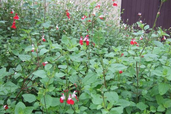 Salvia microphylla 'Hot Lips' Dscf6567