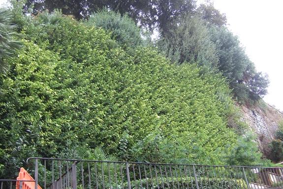 Ficus pumila - Page 5 Dscf6577