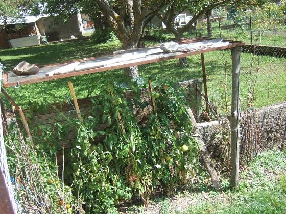 Solanum lycopersicum - les tomates - Page 8 Dscf6587