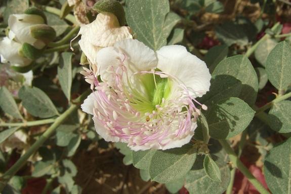 Italie - flore de Sicile - Page 2 Dscf6616