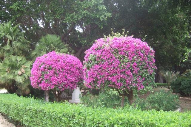 Bougainvillea - hybrides et cultivars Dscf6632