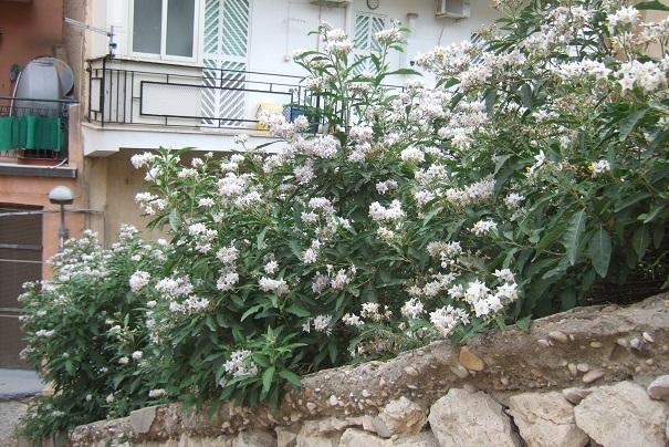 Solanum bonariense Dscf6638