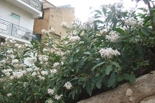 Solanum bonariense Dscf6639