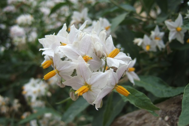 Solanum bonariense Dscf6640
