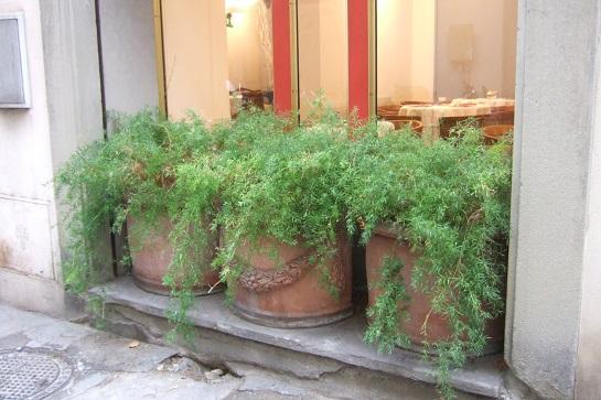 Asparagus densiflorus  Dscf6641