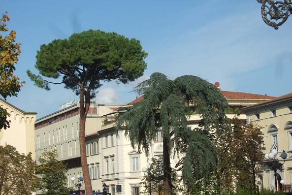 Pinus pinea - pin parasol - Page 3 Dscf6650