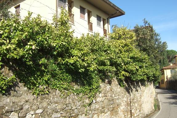 Ficus pumila - Page 5 Dscf6665