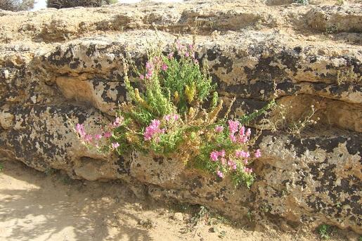 Italie - flore de Sicile Dscf6715