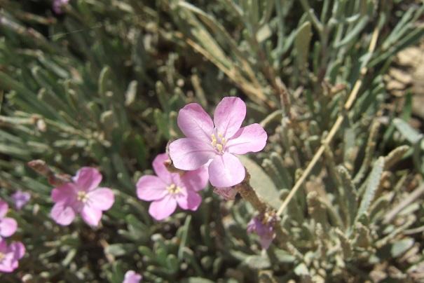 Italie - flore de Sicile - Page 2 Dscf6732