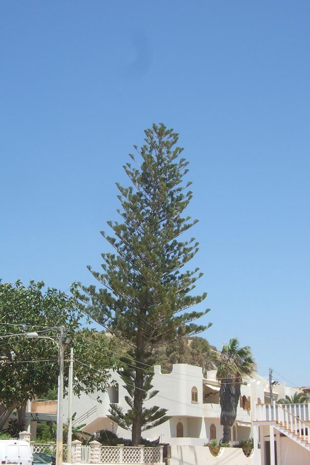 Araucaria heterophylla - pin de Norfolk Dscf6754