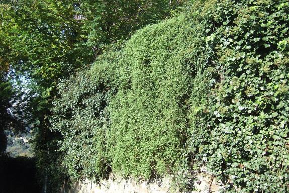 Salpichroa origanifolia - muguet des pampas Dscf6761
