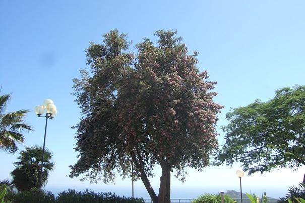 lagunaria - Lagunaria patersonii Dscf6810