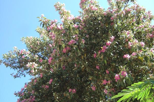 lagunaria - Lagunaria patersonii Dscf6811