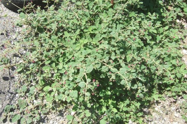 Boerhavia coccinea [identification] Dscf6837